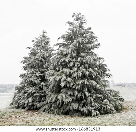 A winter scene with two cedar trees dusted with frozen ice./Cedar Trees with white frost