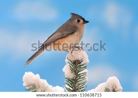 A winter Tufted Titmouse (Baeolophus bicolor) on a snowy spruce tree with blue sky in the background.
