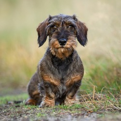 A wirehaired dachshund sits against a brown background