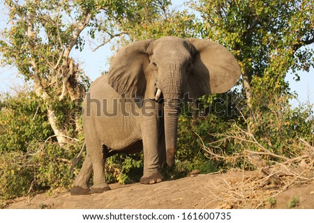 A wise old elephant cow standing at the edge of a forest looking down at the camera