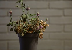 A withered flower in a pot against a gray brick wall. A dried, arid indoor flower in a flowerpot.  Clos