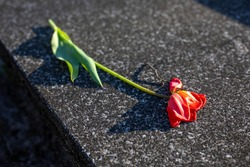 a withered red tulip on a stone grave slab, fading flower, background, tombstone, graveyard