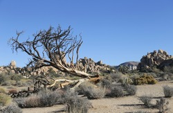 A withered tree beside a huge rock formation in Hidden Valley Nature Trail in Joshua Tree National Park, CA