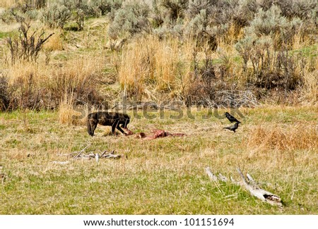 A wolf feeds on a downed elk while two ravens watch and wait for their opportunity to share in the meal