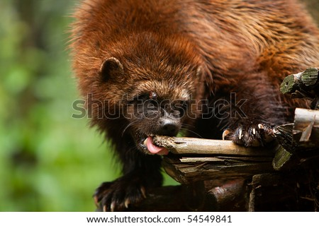 A wolverine chewing on a large piece of wood.
