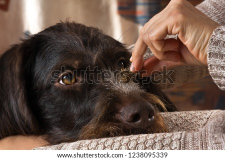 a woman cleans dog hair from the spines of burdock, close up #1238095339