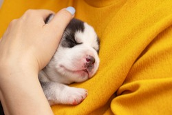 A woman is holding a newborn husky puppy. The female hugs the little puppy. Pet care concept .