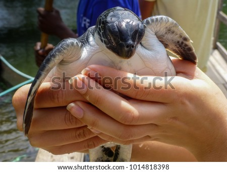 A woman is holding a small baby sea turtle at a rescue conservation center in Zanzibar.