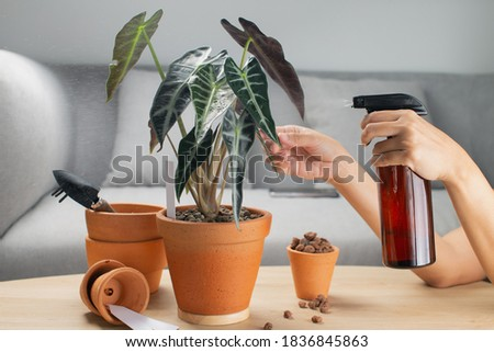 A woman is spraying Liquid fertilizer for the foliar feeding on the alocasia sanderiana bull or alocasia bambino in a clay pot and accessories on the table Foto stock ©