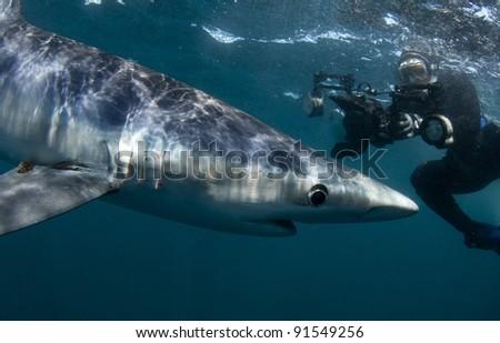Stock Photo a woman photographs a blue shark underwater