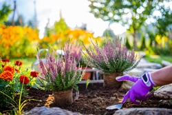 A woman plants autumn heathers in the garden.