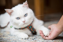 A woman plays with a fluffy white British Shorthair cat with love and affection
