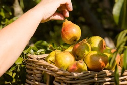 A woman's hand plucks a ripe juicy pear from a tree branch and puts it in a basket, a gardener's hand plucks a pear crop from a tree branch, close-up, sunlight. Autumn crop, gather or harvest.