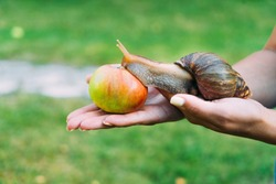 a woman's hands are hold a big snail in the garden. Snail crawls to the red apple