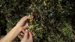A woman touches an olive branch and rips off one olive. Young olives ripen on an olive tree. Woman hands close up