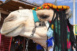 A wonderful camel face with a colored cap in Nubia, Aswan Governorate, Egypt