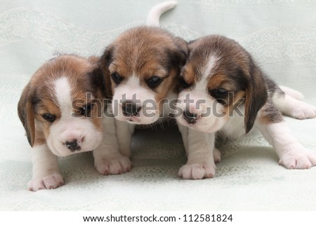 a wonderful little puppy dog beagle