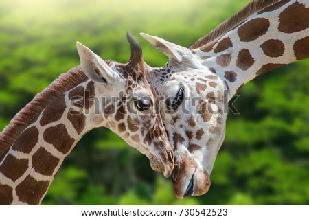 A wonderful moment in nature. Two giraffes (baby and mother) enjoy in love and beautiful moments. Great love between mother and her baby. Green trees in the background.  #730542523