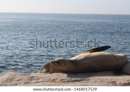 a wonderful sea lion posing in san diego #1468017539