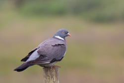 A Wood Pigeon (Columba palumbus) perched on wooden post against a blurred natural background, UK