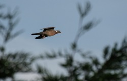 A wood pigeon in flight passing tree tops