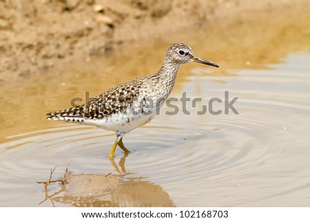 A Wood Sandpiper (Tringa glareola) standing in a little water pond