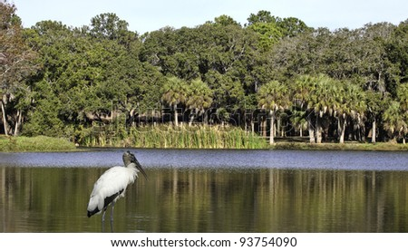 A wood stork in lake with park and trees in the background.