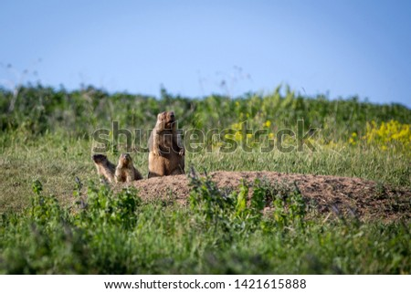 A woodchuck with two cubs looks out of the hole. Sunny summer day. Field with herbs, blue sky. Cute steppe animals. #1421615888