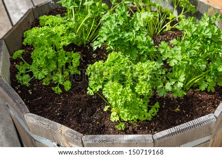 A wooden container of parsley herb plants for container gardening