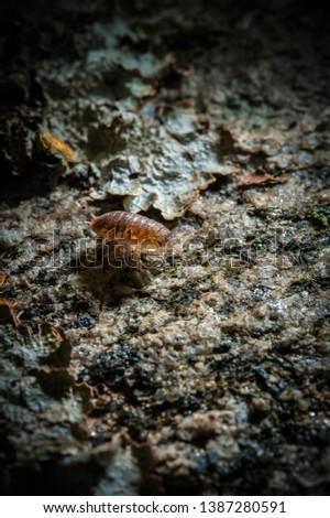 A woodlouse (Oniscidea) crawling on an old log #1387280591