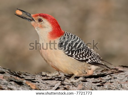 A woodpecker is sitting on a log eating a nut.