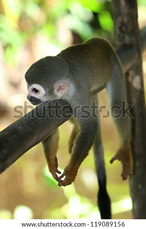 A Woolly Monkey in a tree along a river in the Amazon Rain forest
