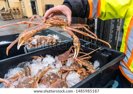 A worker at a dockside commercial processing plant in Newfoundland lifts a fresh caught snow crab from a black plastic bin filled with ice before preparing the crabs for shipment to Japan. Zdjęcia stock ©