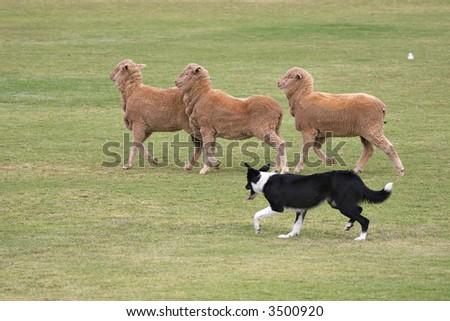 working sheep dog  border