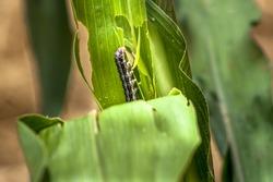 A worm eating leaf corn