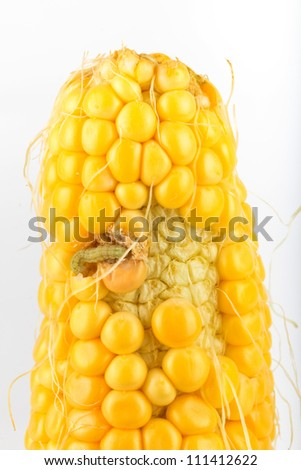 A worm eating the corn