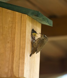 A Wren Feeding Its Young In A Nest Box
