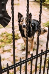 A wrought iron fence, behind it are a blurry, bezel-less dog with sad eyes. Vertical photo. High quality photo
