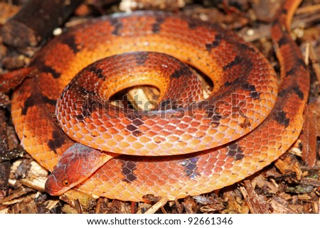 A Wucherer's Ground Snake (Xenopholis scalaris) in the Peruvian Amazon