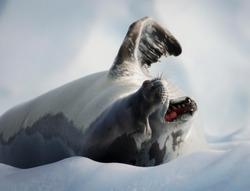 A yawning Crabeater seal (Lobodon carcinophaga), lying on ice in Antarctica