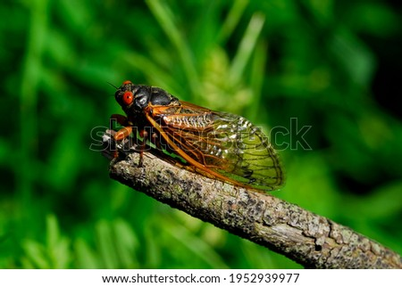 A 17-year cicada. They live underground in their nymph stage and emerge only after 17 years. They are pretty with their transparent wings, orange highlights and their very large, orange compound eyes.