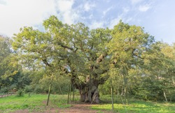 A 1000 year old hollow oak tree in Sherwood Forest called the Major Oak, reputedly used as a hide-out by Robin Hood.
