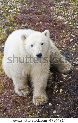 a yearling polar bear waits for the ice that every year comes later and later