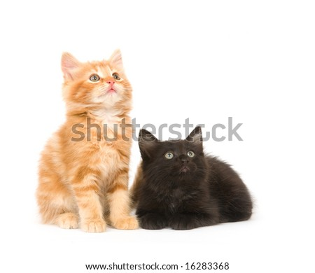 A yellow and a black kitten look up in the air while sitting on a white background