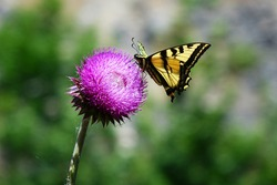 A Yellow and Black Swallowtail Butterfly pollinating the purple flower of a thistle in Idaho.