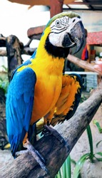 A yellow and blue maccaw. This popular parrot is found in Langkawi wild life park in Malaysia country.