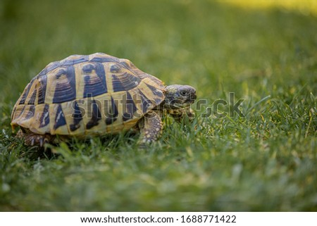 Photo of  A yellow and brown tortoise is walking slowly on vivid green grass in the garden searching for a dandelion to eat