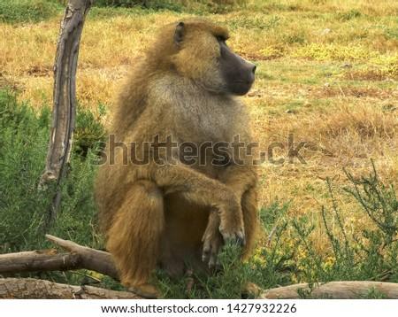a yellow baboon sitting upright at amboseli