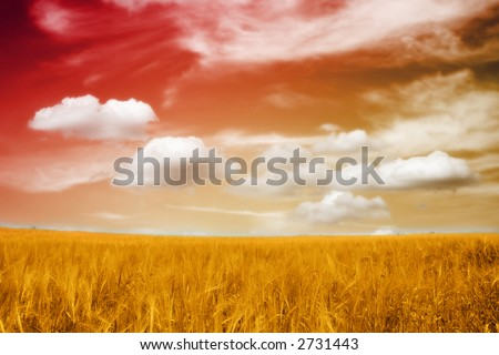 a yellow barley field under the beautiful red and yellow sky with clouds in sunset