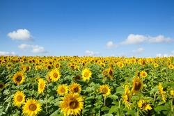A yellow beautiful sunflower field
